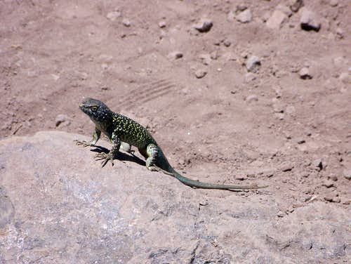 A lizard enjoying the sunshine on Cerro Provincia