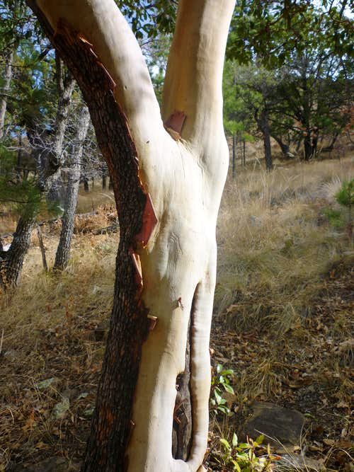 Texas Madrone, Tejas Trail