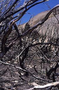 A bushfire burnt all snow gum...