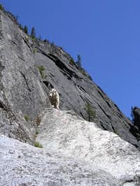 Inquisitive Mountain Goat...