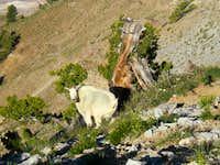 Goat on ben Lomond