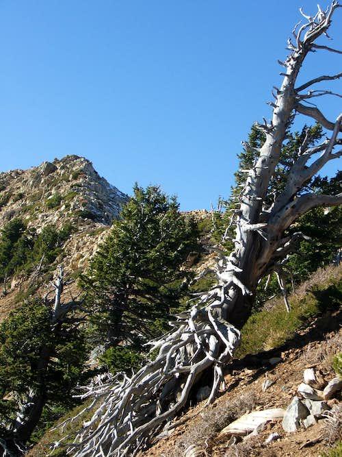 Exposed Juniper Roots