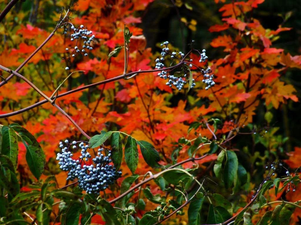 Huckleberries, fall color