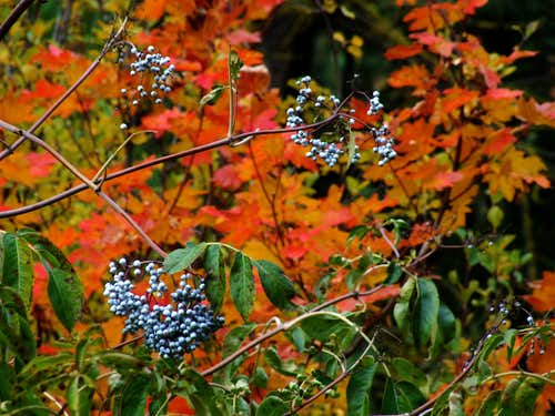 Huckleberries, fall color