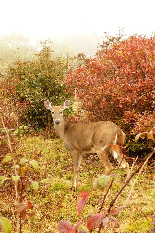 Deer on Gregory\'s Bald