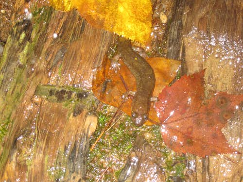 Salamander on Mitchell trail