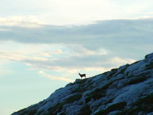 The lonesome chamois is...