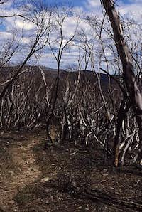 snow gums destroyed by the fire