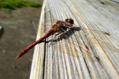 A Dragofly