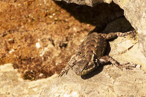 Lizard at the summit