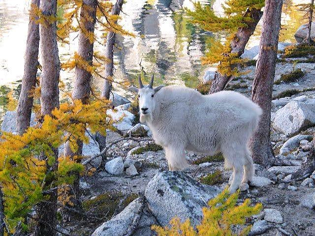Mountain goat poser