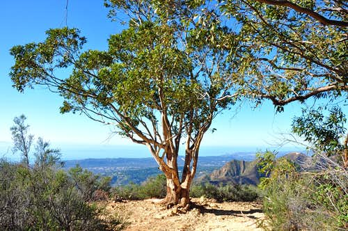 Eucalyptus Tree Lookout