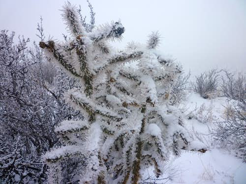 Snow covered cholla