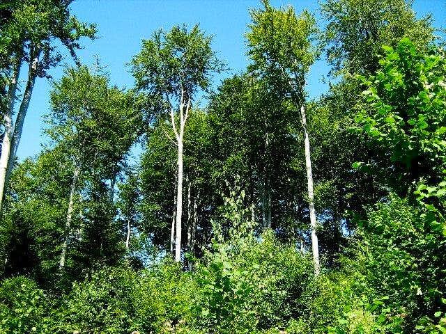 Beech Trees on the Slope of Mount Kopiec