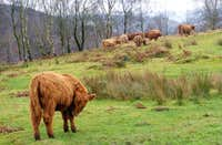 Highland Cattle in the Peak District