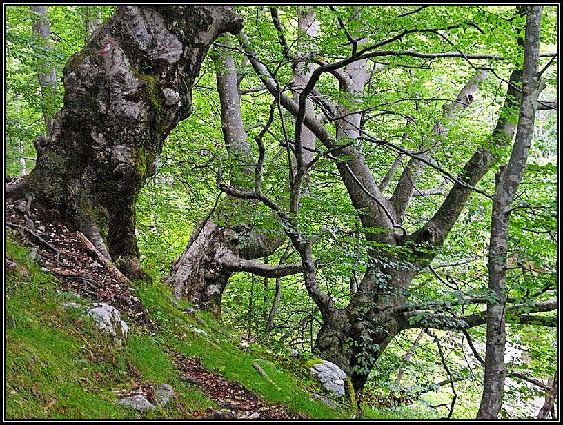 Beech trees in Moznica
