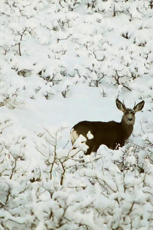 Deer in Oquirrh Mountains