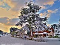 Snow covered cedar tree - Hempstead Kent