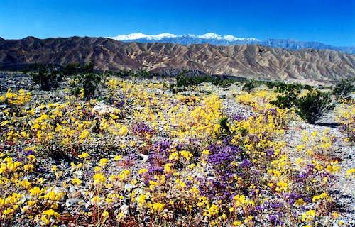Desert gold and snowy Panamint Range
