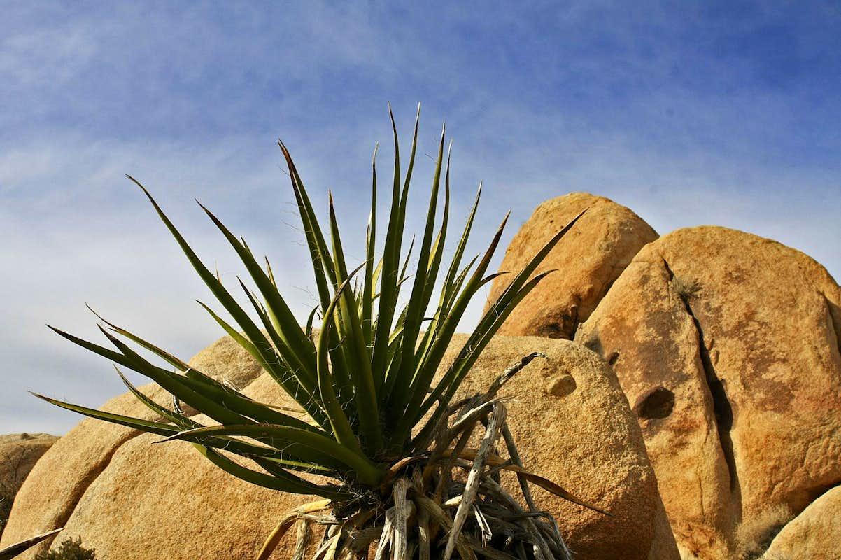 Yucca : Photos, Diagrams & Topos : SummitPost