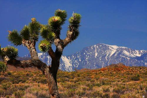 Joshua Tree & Olancha Peak