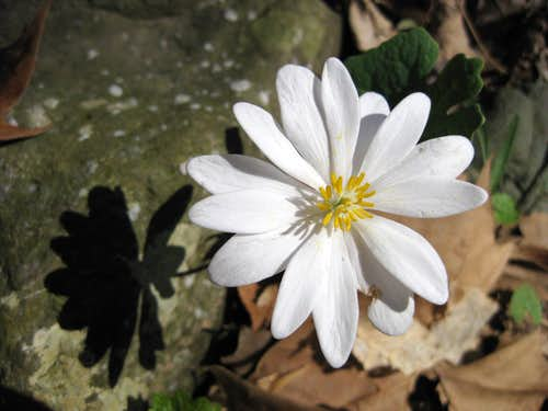 Shadow of the Bloodroot