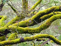 Moss covered oaks