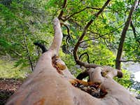 Madrone tree limb