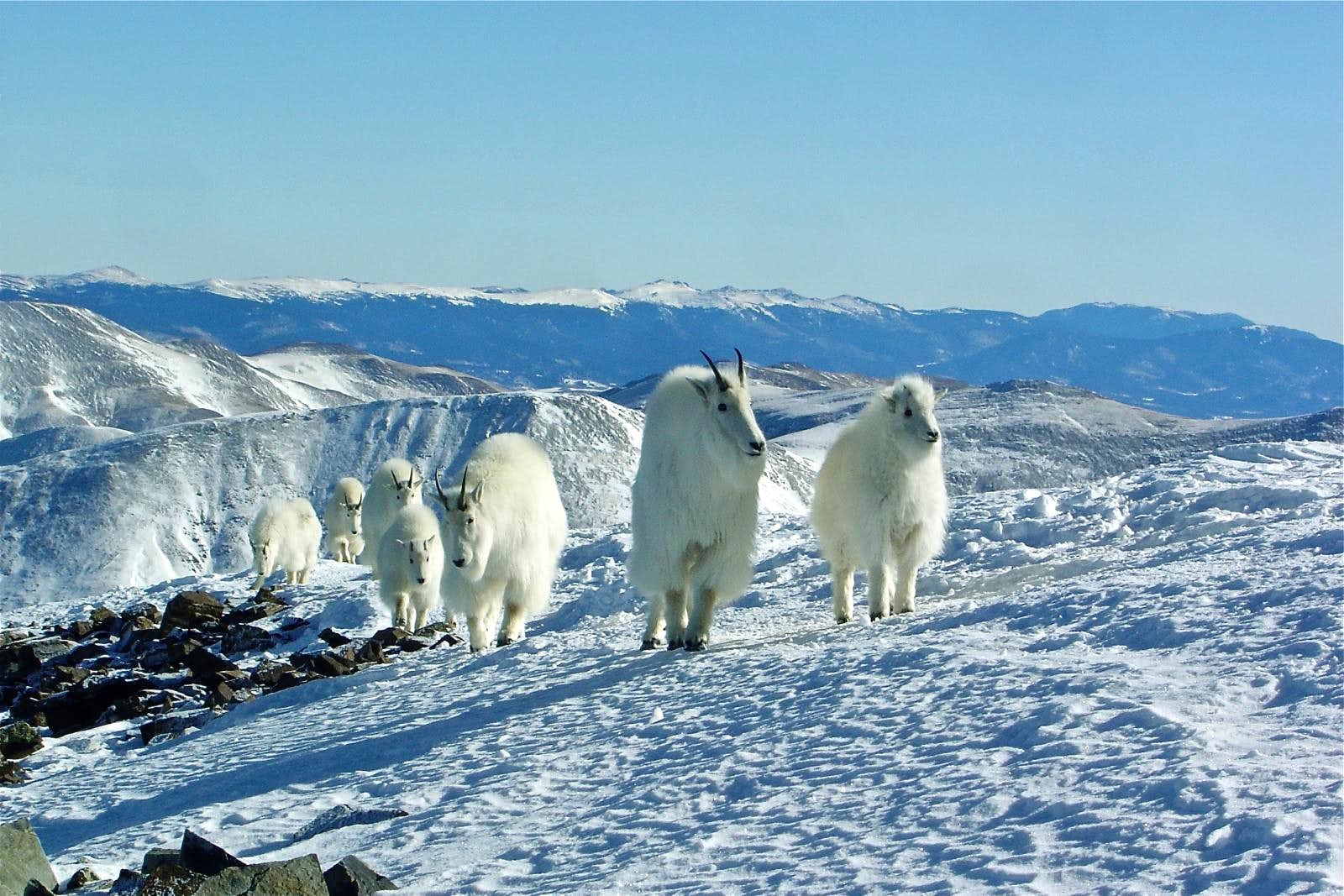 Quandary Hike with 8 Mountain Goats