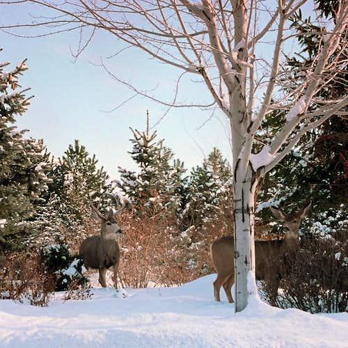 Wasatch Deer
