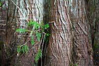 Beautiful Evergreens at Box Canyon
