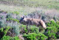 coyote in Lamar Valley