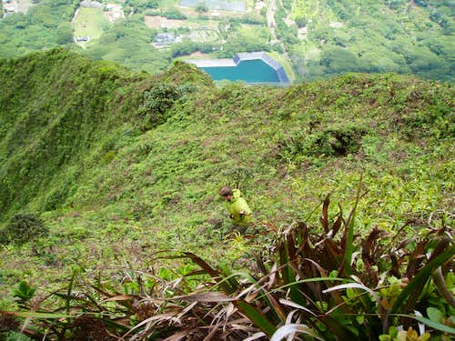 Looking for rare plants just on the windward side of the sheer Ko\'olau Ridgeline