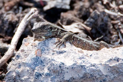 West Canaries Lizard