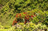Ohia Tree in Bloom