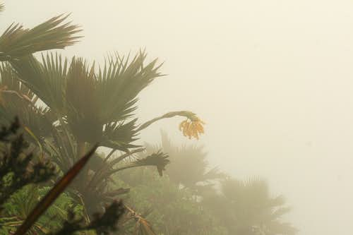 Loulu Fan Palm in Bloom at Ko\'olau Summit