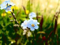 Flowers outside Weissmies Hut