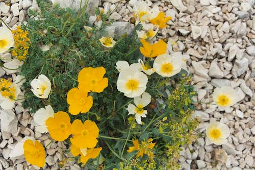 Alpine Flowers en-route to Campo Imperatore