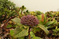 A Kanawao or Pu'ahanui (Hawaiian Hydrangea) in Bloom along the Ko'olau Summit