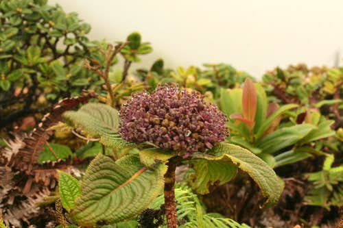 A Kanawao or Pu\'ahanui (Hawaiian Hydrangea) in Bloom along the Ko\'olau Summit