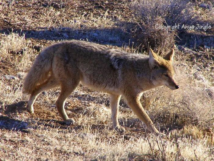 Red Rocks Coyote
