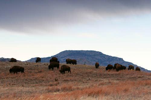 Bison and Mt. Scott