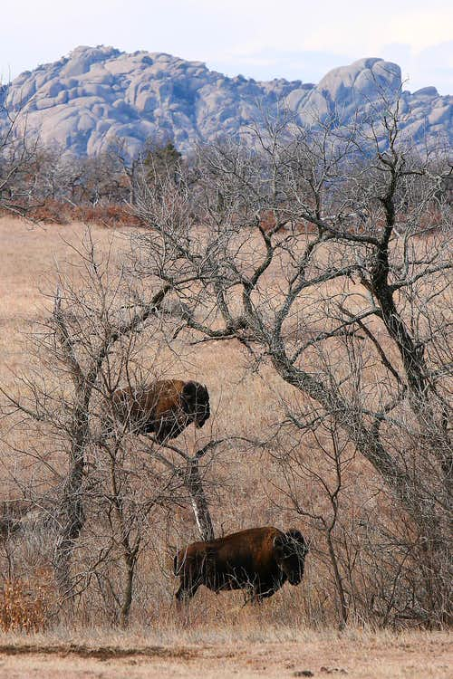 Bison and Mt. Lincoln
