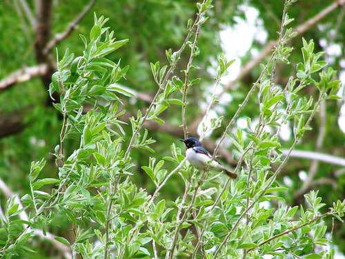 A Black-throated Blue Warbler
