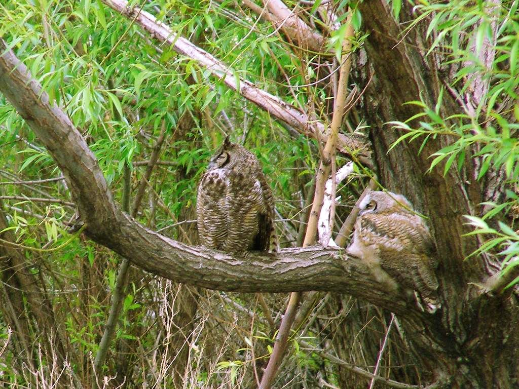 Great Horned Owls at Fields