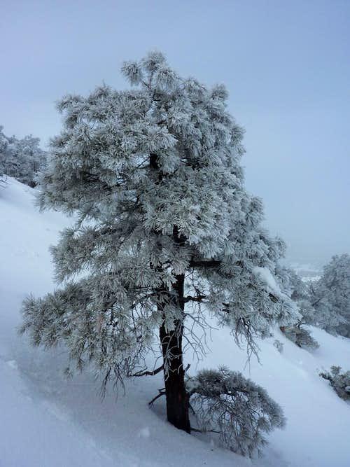 Rime Iced Tree