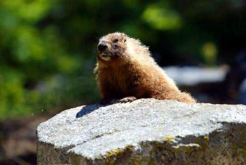 Marmots Will Likely Greet You...