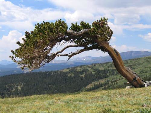 A Bristlecone Pine Tree at the...