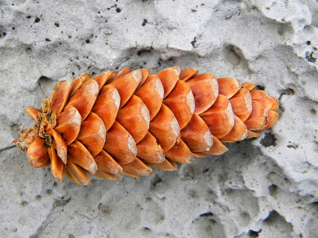 Limber Pine Cone