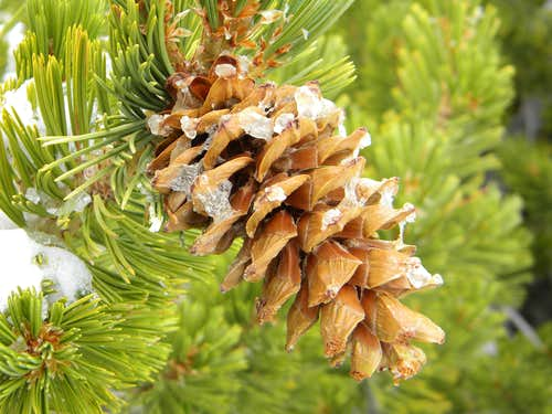 Icy Limber Pine Cone